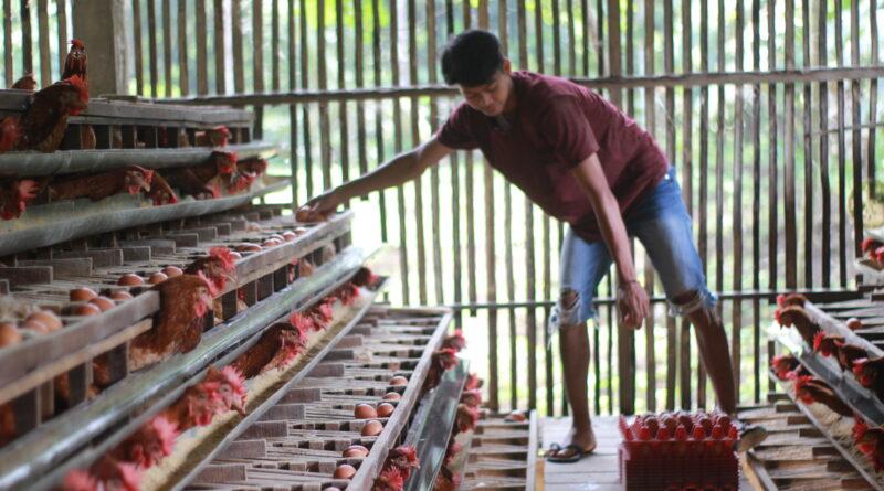 Kenaikan Harga Pakan Ayam Petelur Ditengah Anjloknya Harga Telur Ayam
